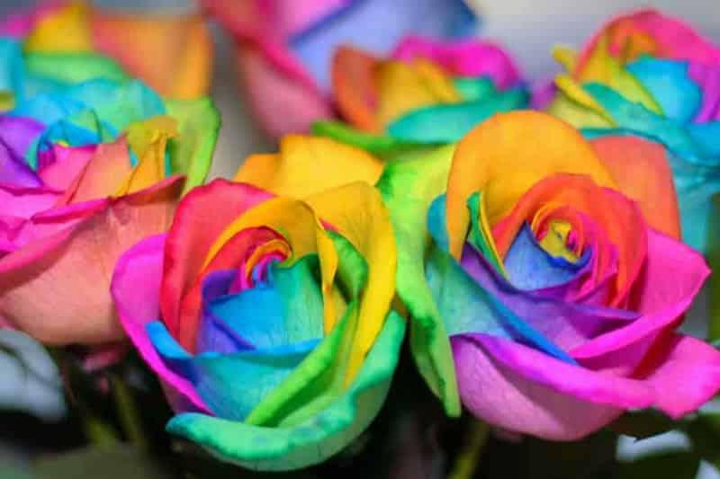 hoa hoc dang sau hoa hong rainbow